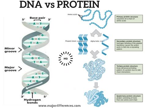 4 proteins in dna major differences