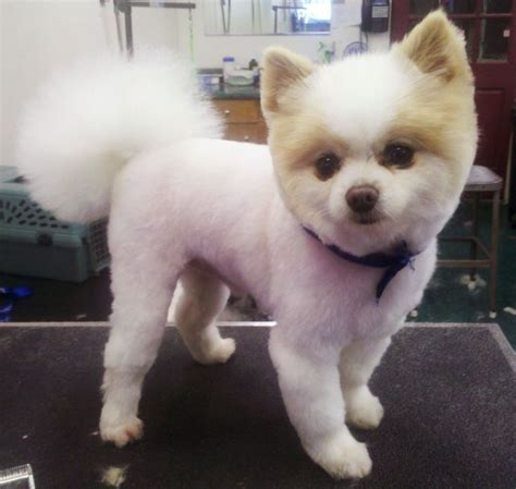 pomeranian puppy haircut best 25 pomeranian haircut ideas on pomeranian pups names of haircuts