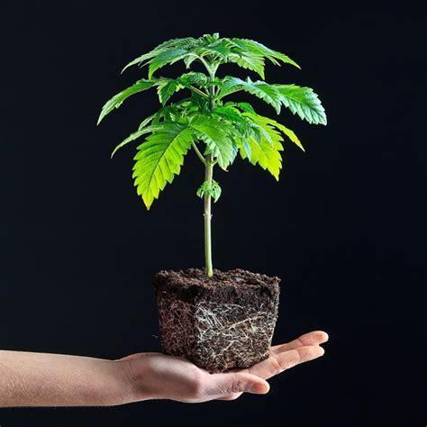 coltivare marijuana vaso coltivare piante di cannabis semi vs cloni rqs