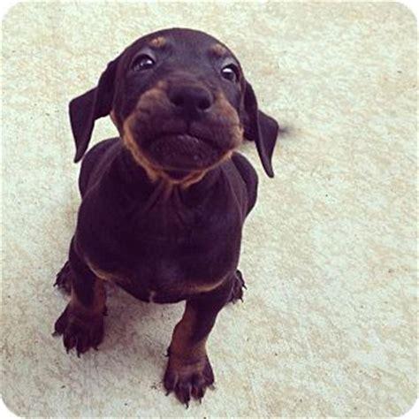 puppies honolulu hound labrador puppies adopted puppy honolulu hi labrador retriever mix