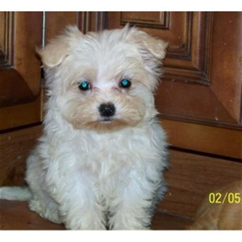 yorkie puppies portland oregon dogs portland or free classified ads