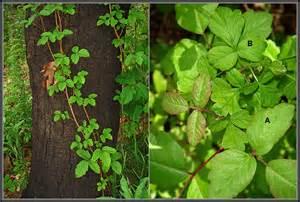 poison oak pictures mouade agafay