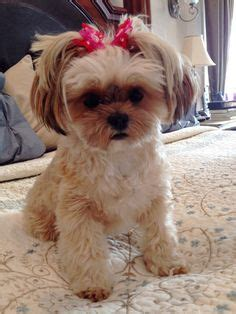 blonde shorkie haircuts shih tzu grooming style photos wow com image results