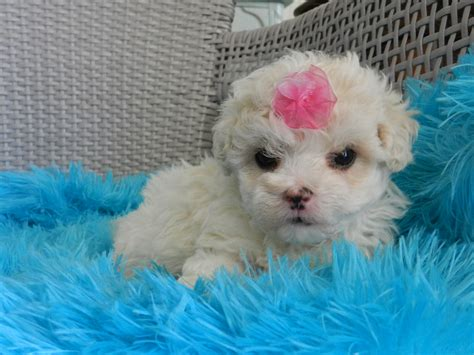 teacup for sale poodles teacup poodles for sale teacup yorkies tiny teacup maltese tiny