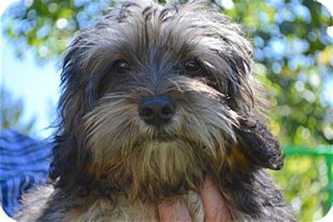 shih tzu rescue ct buster pending adopted puppy westport ct shih tzu cockapoo mix