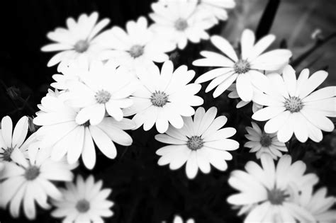 black and white flower background black white floral wallpapers floral patterns