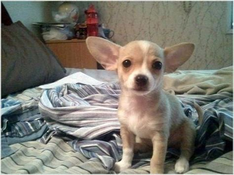 teacup chiweenie puppies for sale the world s catalog of ideas