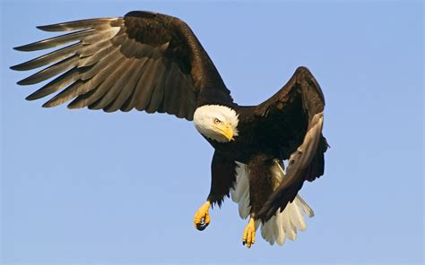 Eagle Hawk Wallpapers   Animals Library