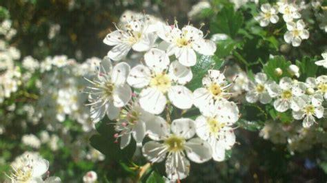 imagenes espino blanco infusiones de espino blanco o espino albar para descansar