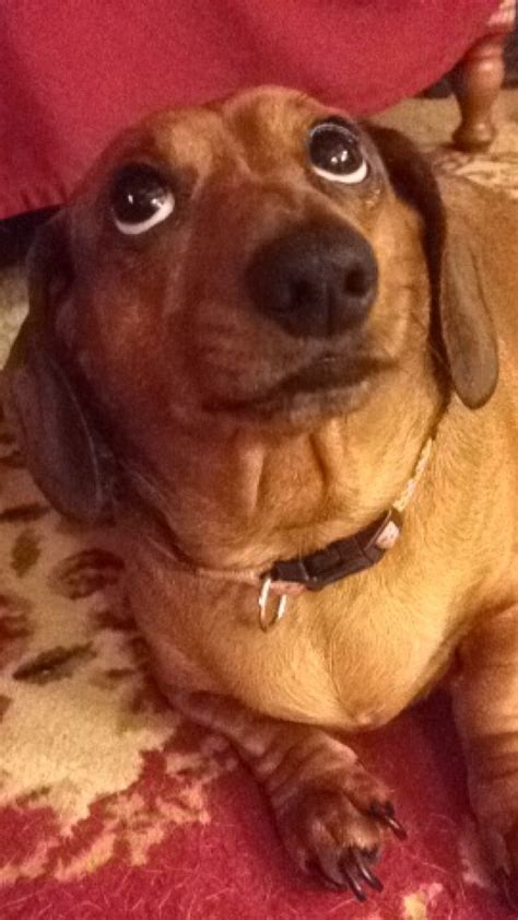 weenie puppies weenie dachshund