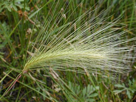 foxtail awns foxtail barley hordeum jubatum