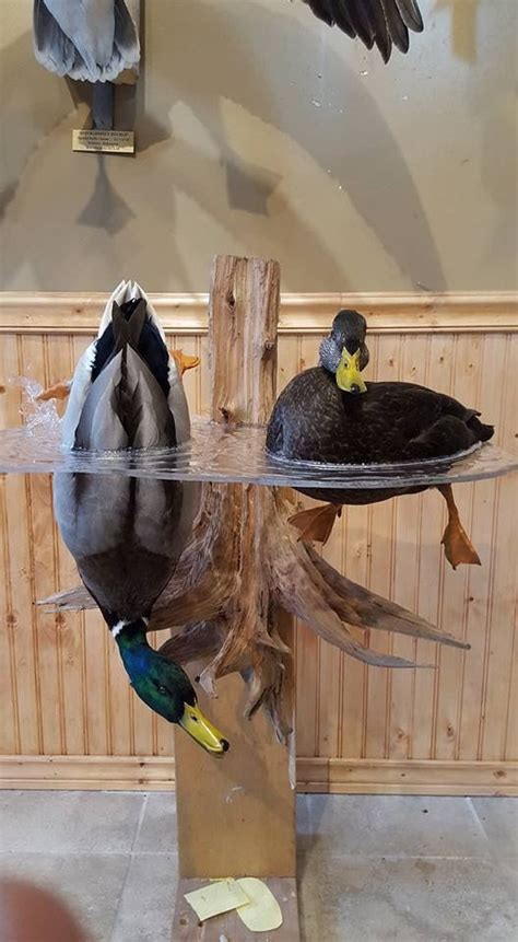 duck hunting home decor mallard drake and hen mount by taxidermy by josh saville