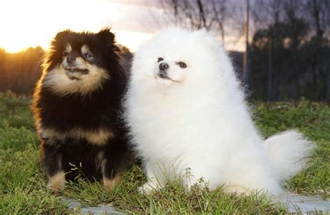 are pomeranians prone to seizures living dogs which breeds live