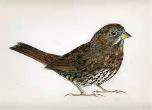 sooty fox sparrow neornithes