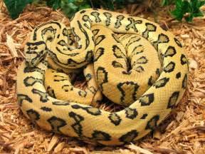 Jaguar Carpet Python Jaguar Carpets Python And Carpets Python Amazing