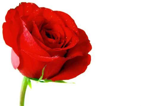 gambar bunga mawar merah indah pernik dunia