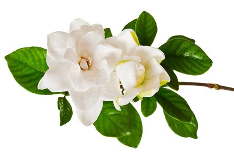 Gardenia In Best In Show Gardenia Fragrances 2016 Best In Show