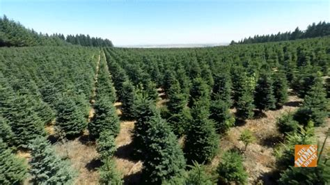 how to plant christmas tree farm tree gif find on giphy