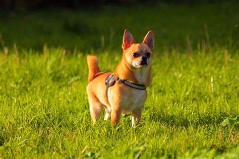 chi town dog house chihuahua temperament personality canna pet 174