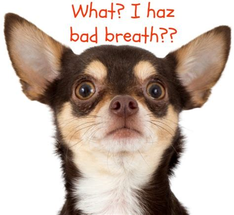 bad breath in dogs bad breath remedies for halitosis