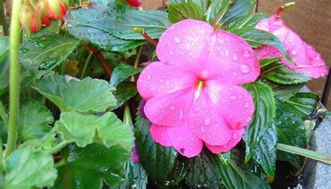 Nuova Guinea Fiore Sole by Impatiens Nuova Guinea Fiori Impatiens Nuova Guinea Fiore