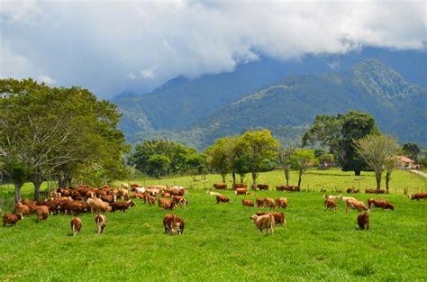 Bibit Sapi Di Sumatera Barat ini penakan peternakan sapi yang bikin jokowi geleng
