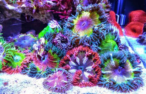 Flower Garden Reef Rock Flower Anemone Garden Invertebrates Gallery