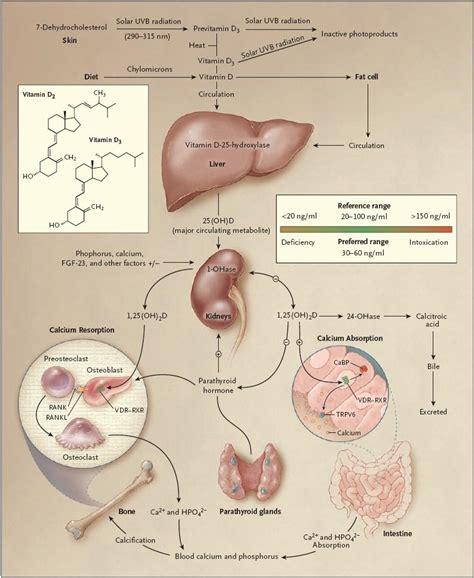Vitamin Metabolisme Vitamin D Metabolism