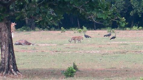 Pola Kulit Macan Harimau peneliti lipi satwa yang tertangkap kamera itu lebih