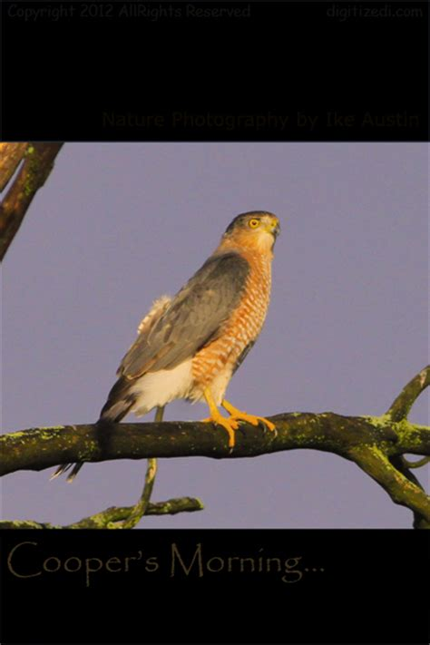 nature photography michigan cooper s hawk dialog with