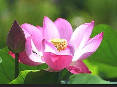 lotus flower hindu 莲花 荷花桌面壁纸 下载 新艺图库 jpeg 大图片 1024 768 花卉花卉鲜花