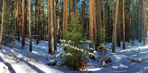 utah tree permits forest service tree aspen trail finder