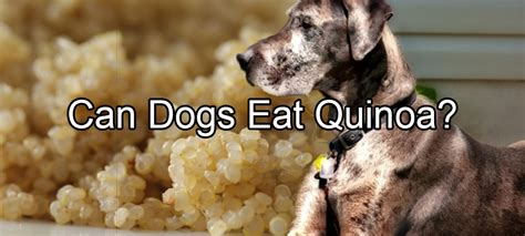 can dogs eat beets quinoa pethority dogs