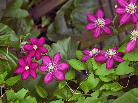 clematis varieties bush types and climbing clematis vines