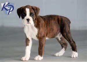 Boxer For Sale 25 Best Ideas About Boxer Puppies For Sale On