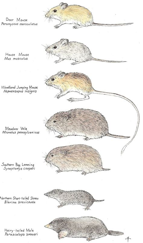 Tiny House Facts mice all about the different types of mice do my own