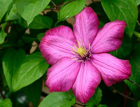 flowers in bloom pink 6 petaled flower in bloom 183 free stock photo