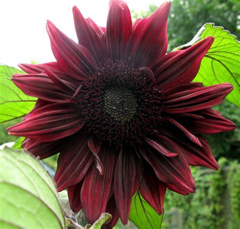 pheasant place black magic sunflower