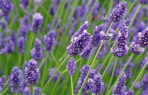Bunga Lavender Pot 38 38 best lavenders images on lavender lavandula angustifolia and flower beds