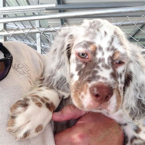 llewellin setter dogs for sale pure dashing bondhu llewellin setter puppies