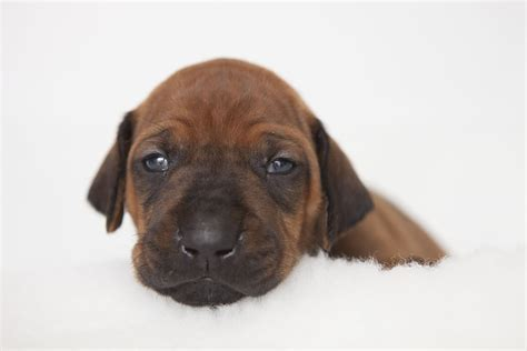 rhodesian ridgeback puppy cost rhodesian ridgeback our dogs magazine pedigree breeder breeds picture