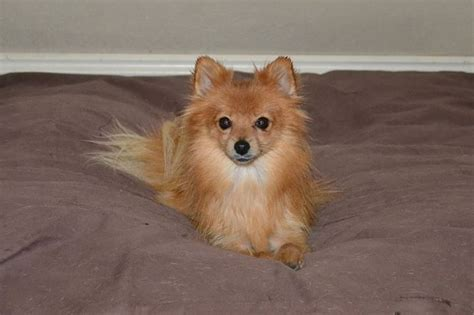apricot pomeranian recycled pomeranians and schipperkes rescue petfinder foundation