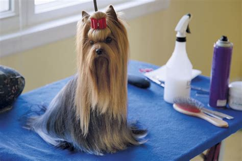 how to groom a yorkie yourself how to groom a terrier my friend is a