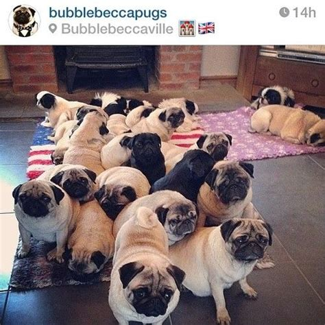 a grumble of pugs a grumble pugs posts the o jays and pug