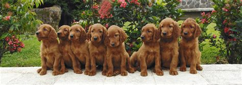 irish setter working dog irish setter irish setter dog breeds
