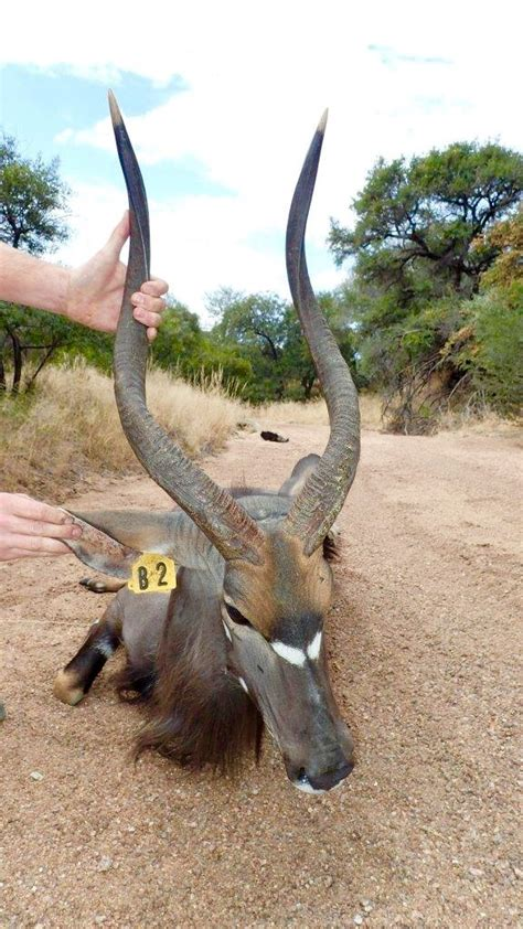 sold nyala bull  wildlife sa