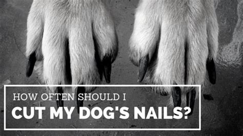 how to cut a dogs nails how often should i cut my s nails