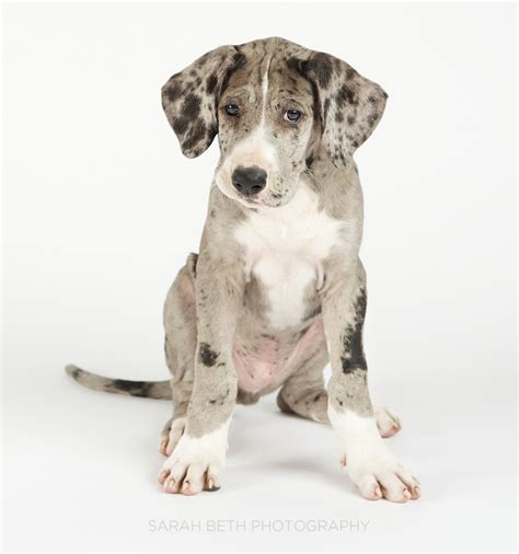 great dane puppies mn great dane puppies mn breeds picture