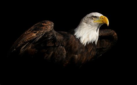 abstract eagle wallpaper bald eagle hd wallpapers american eagle hd pictures hd