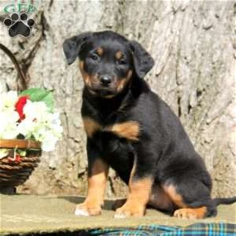 chow chow rottweiler mix puppies chow rottweiler mix puppy www pixshark images galleries with a bite
